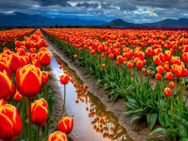 Интересно о тюльпанах